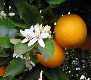 olio-essenziale-arancio-amaro